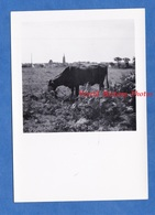 Photo Ancienne Snapshot - PLOUGASNOU - Beau Portrait D'une Vache Et Village En Arriere Plan - 1950 - Bretagne Finistère - Orte