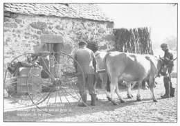Dans L'Aubrac - Attelage De Boeufs Utilisé Pour Le Transport De La Gerbe - France