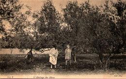 Algérie - L'Abattage Des Olives - Scènes & Types