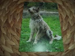 Hund Dog Chien Berger Picard Postkarte Postcard - Hunde