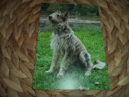 Hund Dog Chien Berger Picard Postkarte Postcard - Dogs