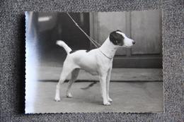 Photographie Chien Fox Terrier à Poil Court. - Photos
