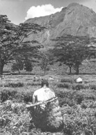 Malawi - Tea Picker, Mlanje - Malawi