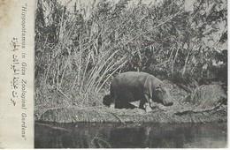 AFRIQUE- EGYTPTE - HIPPOPOTAMUS In GIZA Zoological GARDEN - Gizeh