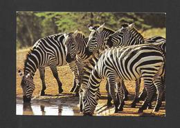 ANIMAUX - ANIMALS - WILDLIFE OF KENYA GRANT'S ZEBRA - ZÈBRES - PHOTO DINO SASSI - Zèbres
