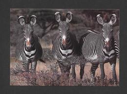ANIMAUX - ANIMALS - ZÈBRES DE GRÉVY PARC NATIONAL DE SAMBURU KENYA - ZEBRA - PAR G ZEISLER   BRUCE COLEMAN - Zèbres