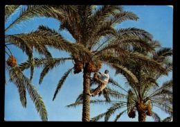 C309 LIBYA LIBIA - DATE PALM RACCOLTA DEI DATTERI  CIRC. 1975 - Libye