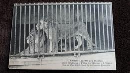 CPA PARIS JARDIN DES PLANTES LION ET LIONNE FELIS LEO LINNE AFRIQUE DON DE MME CECILE SOREL  UN MANQUE COIN - Lions