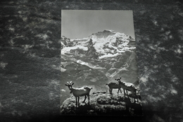 4575   JUNGFRAU MIT ZIEGEN - Tierwelt & Fauna