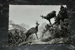 4577     ZIEGEN - Tierwelt & Fauna