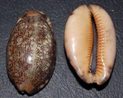 10 - CYPRAEA ARABICA - 2Pz - Mm. 38/41 - Seashells & Snail-shells