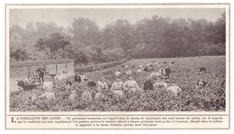 1908 - Iconographie -  Clermont (Oise) La Cueillette Des Cassis - Ferme Fruitière Jules Labitte - FRANCO DE PORT - Vieux Papiers