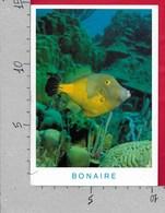 CARTOLINA VG ANTILLE OLANDESI - BONAIRE - Whitespotted Filefish At Jake's Reef - 10 X 15 - ANN. 200? - Bonaire