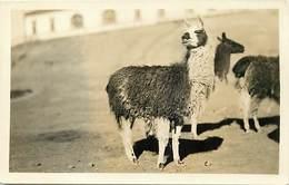 Pays Div -ref P427- Carte Photo - Bolivie -bolivia - Lamas - Lama - Llama - Llamas   - Carte Bon Etat  - - Bolivie
