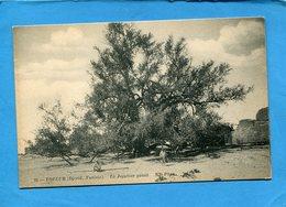 LE JUJUBIER GEANT-TOZEUR-Tunisie-djerid-années 1900-10 édition ND - Árboles