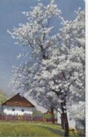 AK 0126  Obstblüte In Tirol Um 1915 - Bäume