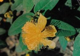 Fleur Millepertuis Hypericum Paeforatum.Hypericacées Sommités Fleuries,antiseptique Et Vulnéraire-publicité :Hémoluol BE - Plantes Médicinales