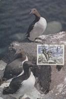 Carte Maximum - Oiseaux - Guilemots - Saint Pierre Et Miquelon - 1975 - Oiseaux