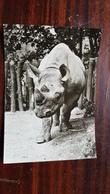 Prague - Praha Zoo. 1960s Rhino - Rhinocéros
