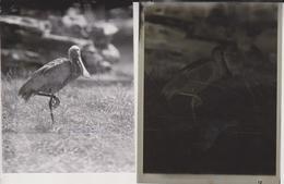 SPONN BILL Foto + Celluloid Negatives, Of Various Animals, Big Cats, Birds, Zoo, Bears, Monkeys, Wild Animals - Photos
