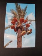 CPM ESPAGNE - ELCHE - RECOLTE DES FRUITS - Espagne