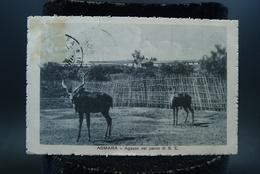 CPA Afrique Erythrée Asmara Agazen Nel Parco Di S E Gazelles - Eritrea