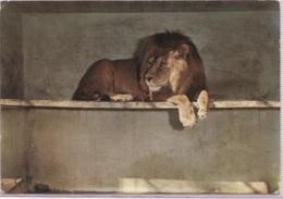 """CPM - PARC ZOOLOGIQUE Du TERTRE ROUGE / LA FLECHE - """"BIRAMA"""" LION D'AFRIQUE - Edition Artaud Gaby - Animaux & Faune"""