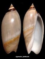 Agaronia Johnkochi - Seashells & Snail-shells