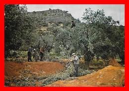 CPSM/gf  GRECE.  La Vie à La Campagne. Cueillette Des Olives, Animé...I0374 - Cultivation