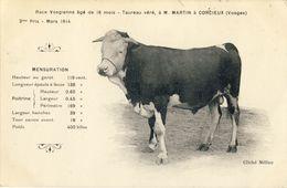 TAUREAU  Véré, à M. MARTIN  à  CORCIEUX (Vosges)  Race Vosgienne Agé De 18 Mois - Corcieux