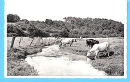 Gedinne +/-1960-Vue Champêtre-Vaches (vache)-Vallée De La Houille-Edit.Languillier-Beghon-Librairie Papeterie, Gedinne - Gedinne