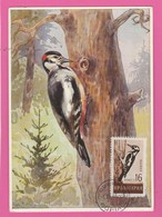 Carte Maximum - Oiseaux - Pic -Bulgarie - 1959 - Specht- & Bartvögel