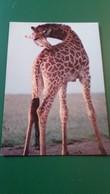 CPSM GIRAFE DANS LA RESERVE AFRICAINE DE SIGEAN AUDE ED ALPHAPRESS - Girafes