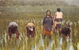 Taiwan / 16 - Cultivating Rice - Formosa - Taiwan