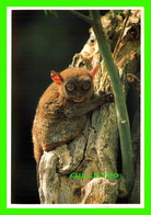 SINGES - TARSIER, THE SMALLEST MONKEY INTHE WORLD FOUND ONLY IN BOHOL, PHILIPPINES - - Singes