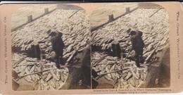 PECHE DU THON---salmon By The Ton-a Scow-full At The Wharf, Fairhaven, --voir Scan - Photos Stéréoscopiques