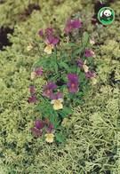Flowers - Fleurs - Bloemen - Blumen - Fiori - Flores - Violet - (Viola Tricolor) - WWF Panda Logo - Fleurs