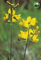 Flowers - Fleurs - Bloemen - Blumen - Fiori - Flores - Pea - (Lathyrus Pratensis) - WWF Panda Logo - Flowers