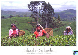 Sri Lanka Postcards, Tea Pluckers, Postcrossing - Sri Lanka (Ceylon)