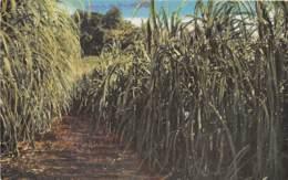 Océanie / 04 - Saipan Mariana - Sugar Cane Field - Cartes Postales