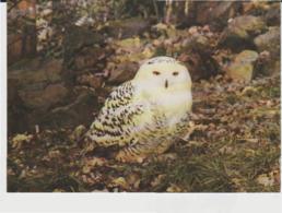 Postcard - Birds - Snowy Owl At The Child - Beale Wildlife Trust,card No7666 - Unused Very Good - Ansichtskarten