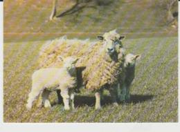 Postcard - Cotswald Ewe And Lambs At Cotswold Farm Park  - Unused Very Good - Ansichtskarten