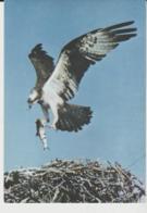 Postcard - Birds - Osprey Card No6712 - Unused Very Good - Unclassified