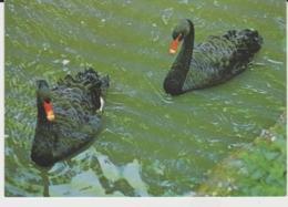 Postcard - Black Swans At The Child - Beale Wildlife Trust - Unused Very Good - Unclassified