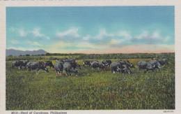 Philippines Herd Of Carabaos Curteich - Philippines