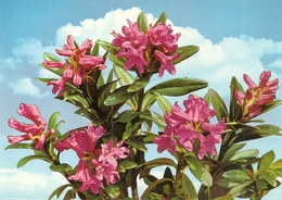 Fleurs. CPM. Rhododendron. Alpenrose. Alpine Rose - Fleurs