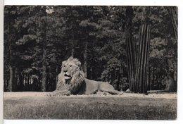 CP - LION DU ZOO DE VINCENNES - Lions