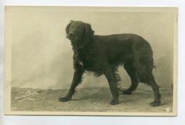 CHIENS 402 Chienne MARQUISE  Setter Irlandaise  -1904  CARTE PHOTO Paul BOYER Photographe - Chiens