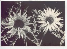 Carlina - Astéracées - Les Carlines Bernard Grange Photographe N°652 - Fleurs