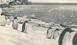 ILES FALKLAND - N° I - PINGOUINS (CARTE PUBLICITAIRE PLASMARINE) (ANNEE 1955) - Falkland